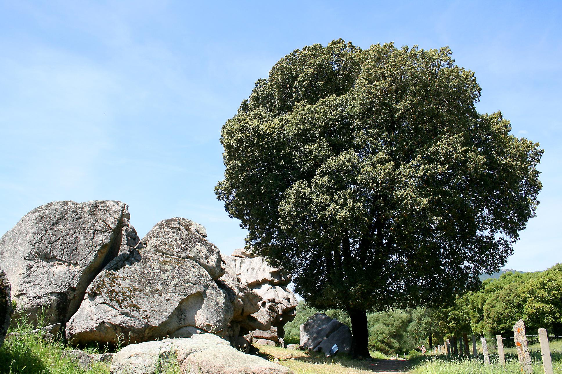Дуб каменный фотографии 3