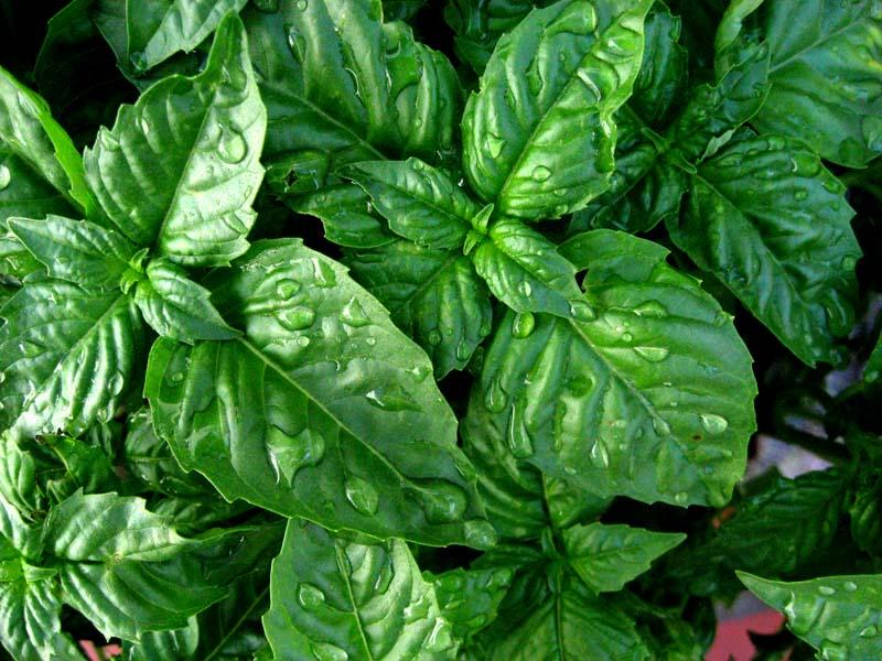 Madeintogo menthe for Plante odorante