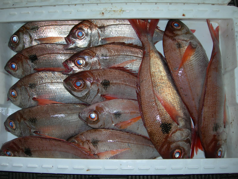 Madeintogo gros yeux for Poisson rouge gros yeux